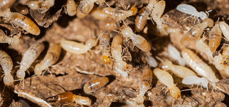 termites dallas or